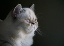 The Absolutely Insidious and Utterly Terrifying Truth About Cat Hair. Photo of a white persian cat with blue eyes